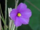 B-filifolia
