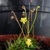 Genlisea-pygmaea