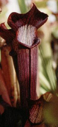 Rubra-gulfensis