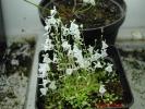 Sandersonii-white