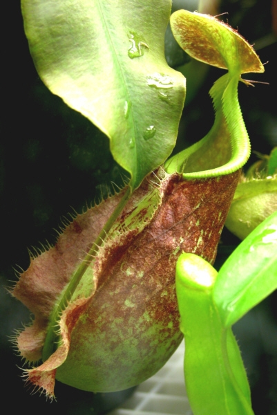 Rafflesiana-giant