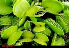 צמח נטול אנטוצין all green