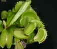 שיני כריש (all green)