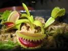 שיני כריש shark